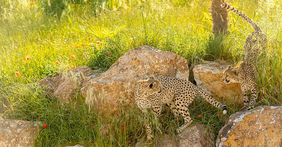 bioparc-parc-zoologique-cratere-guepard