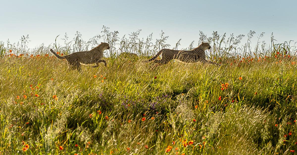 bioparc-parc-zoologique-guepard