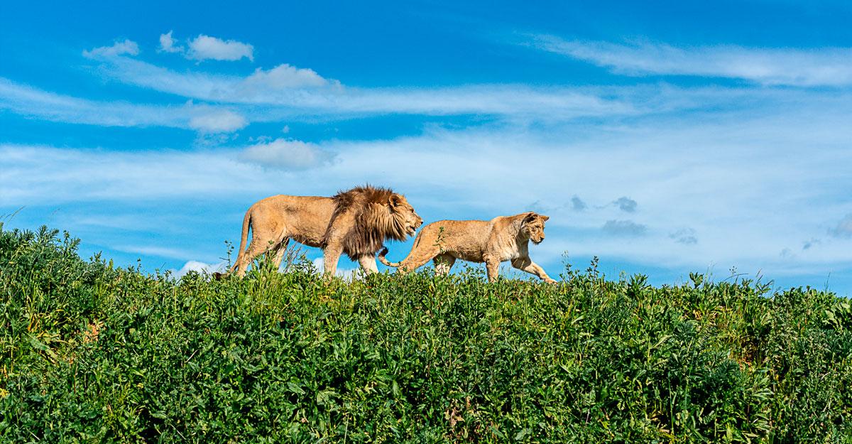 bioparc-parc-zoologique-lion