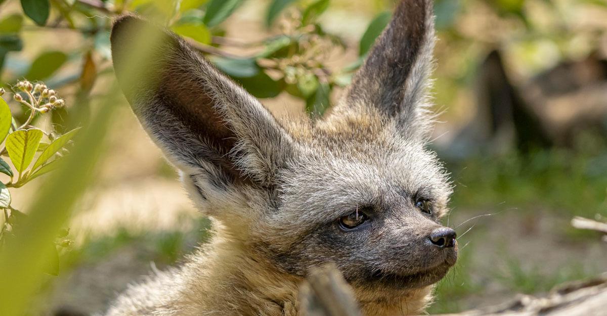 bioparc-parc-zoologique-otocyon