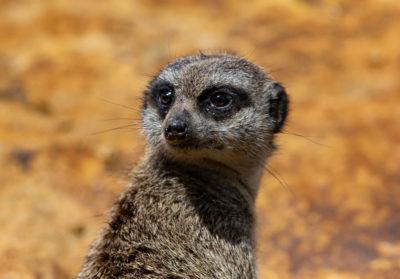 bioparc-parc-zoologique-suricate