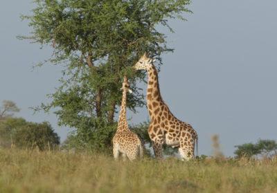 bioparc-parc-zoologique-aider-girafes-niger