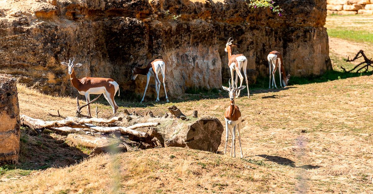 bioparc-parc-zoologique-gazelle-dama-mhorr