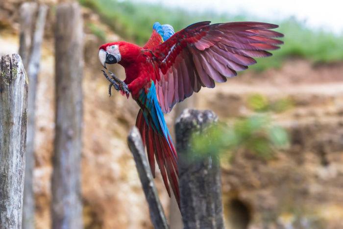 Ara-ailes-vertes-©-Bioparc-P.Chabot