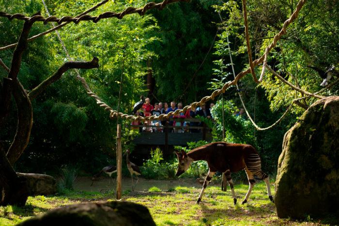 Okapi-©-Bioparc