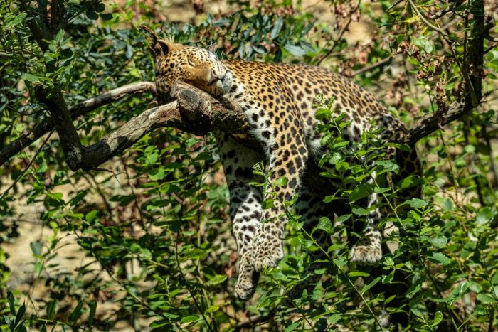 Panthere-Java-©-Bioparc-P.Chabot