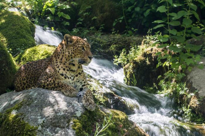 Panthere-Sri-Lanka©-Bioparc-P.Chabot