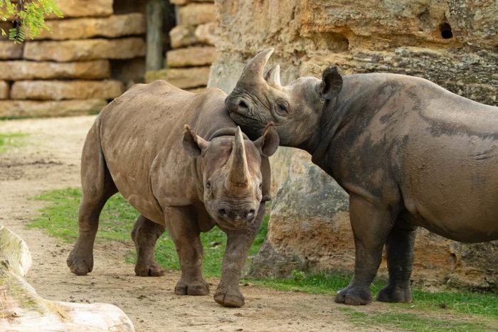Rhino-noir-©-Bioparc-P.Chabot