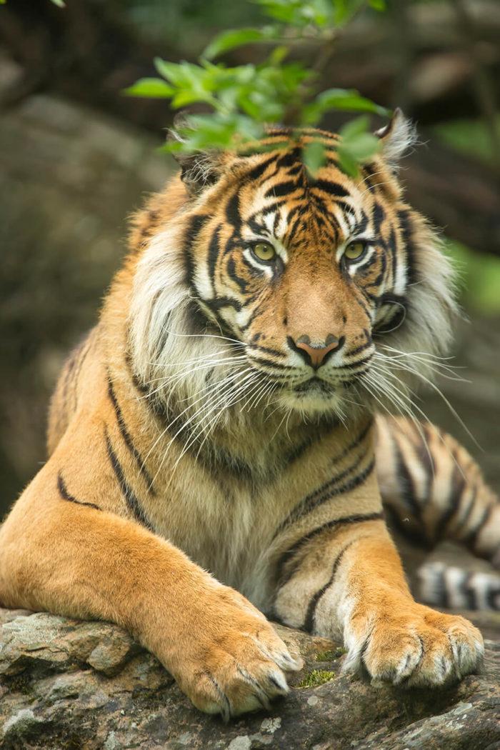 Tigre-Sumatra-©-Bioparc-P.Chabot