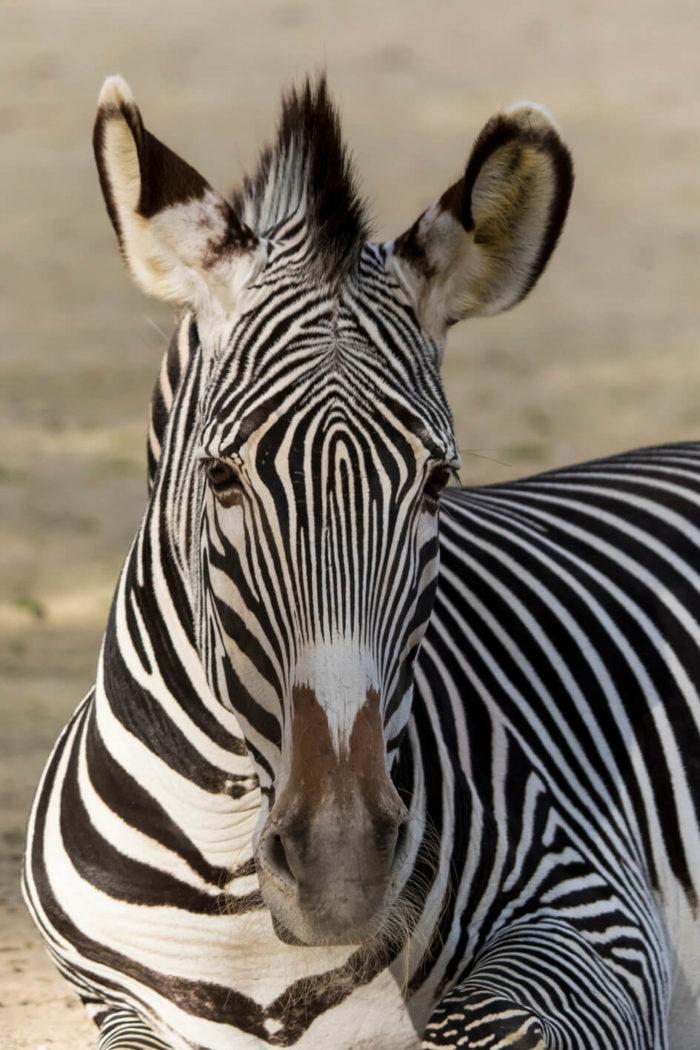 Zebre-©-Bioparc-P.Chabot