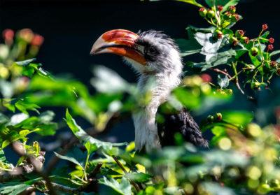 bioparc-parc-zoologique-calao-decken