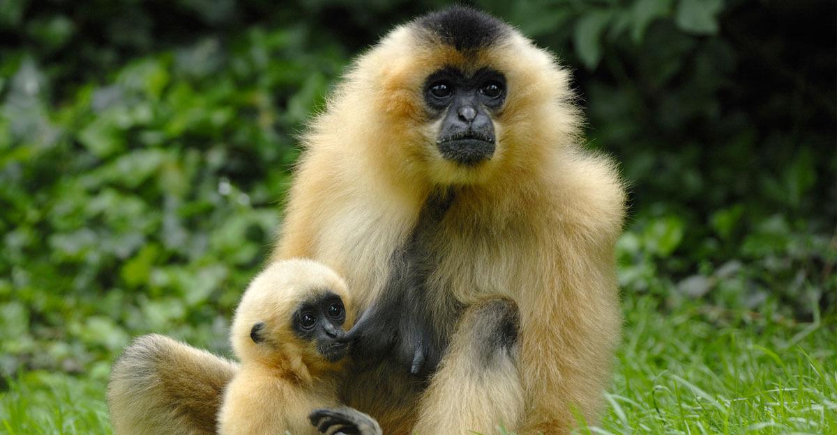 bioparc-parc-zoologique-gibbon-favoris-roux