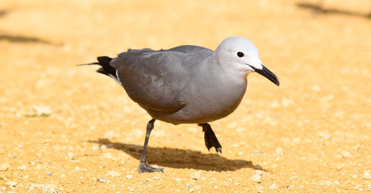 bioparc-parc-zoologique-goeland-gris
