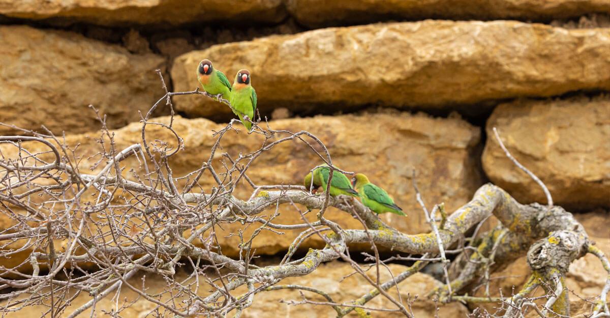 bioparc-parc-zoologique-inseparables-joues-noires