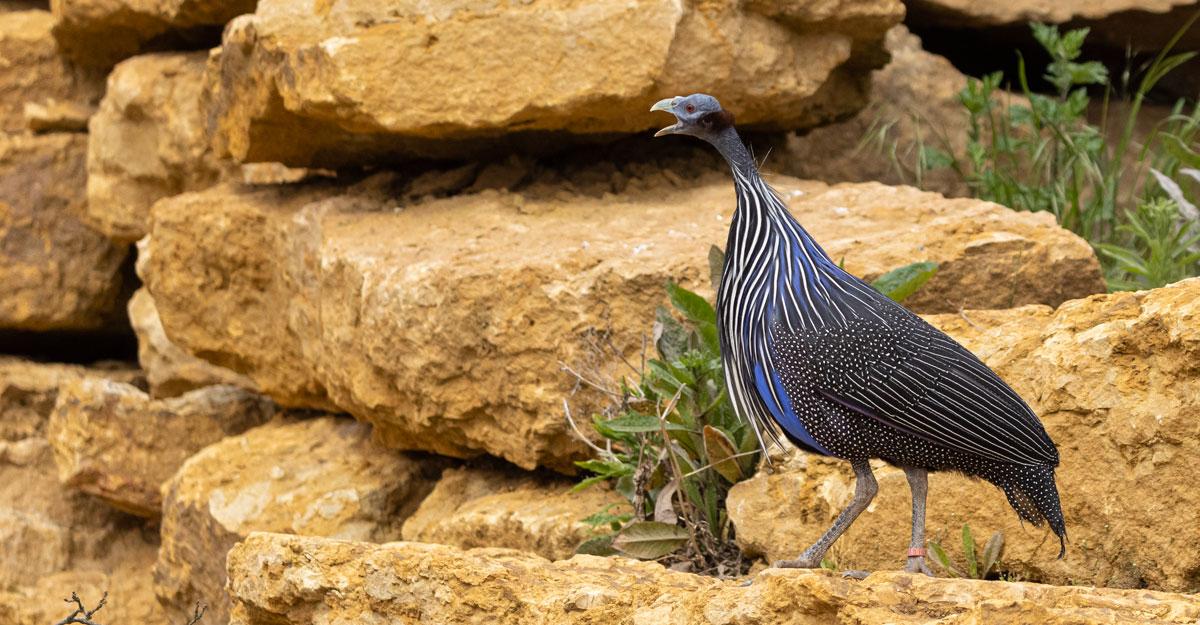 bioparc-parc-zoologique-pintade-vulturine