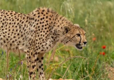 Guepard dans l'herbe