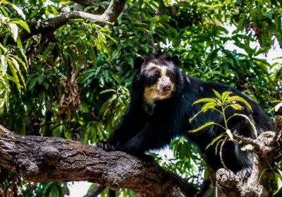 Ours a lunettes dans un arbre